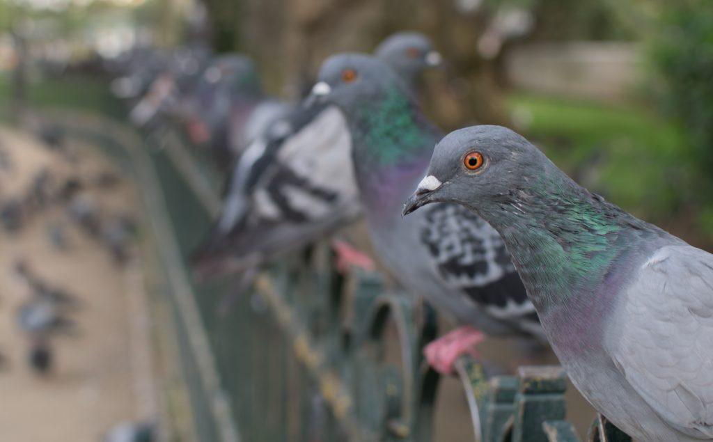 Pigeons at Notre Dame